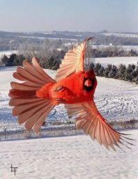Show off Cardinal by Lanny Thompson, AR