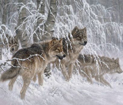 Winter Grey Wolves