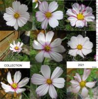 Second Cosmos or Cosmea Collage
