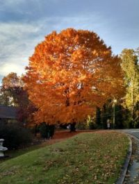 Beautiful Maple Tree in fall colors