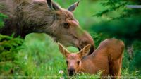 Mother love Moose-with-Calf