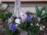 Hyacinty, hyacinth