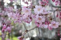 My Weeping Cherry Tree