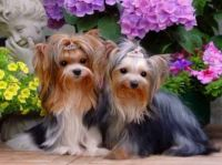 Yorkies - Sweet & Sweeter