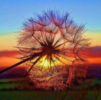 dandelion puff in sunset