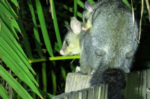 Possum and Baby ..