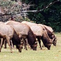 Roosevelt Elk, Olympic Peninsula, Washington