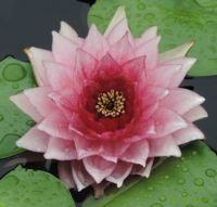Pink water lily on a rainy day