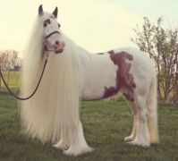 White Horse with Long Mane