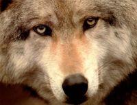 4  ~  'Wolf Portrait'