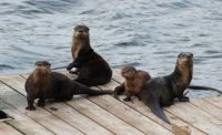 Otters on the deck, Vancouver Island