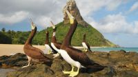 Brown Booby Seabirds