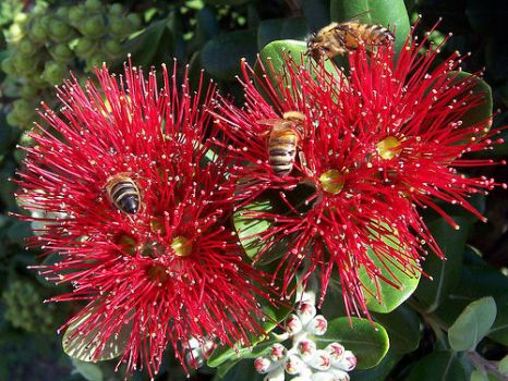 New Zealand Christmas Bush and Bees