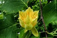 Liliovník tuipánokvětý