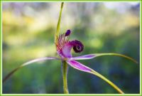 Carousel Spider Orchid - Spring has sprung!