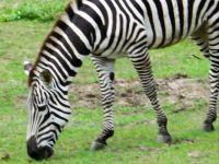 Disney Zebra