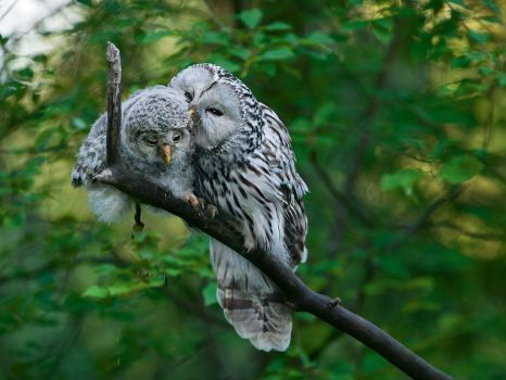 Ural Owls....Estonia