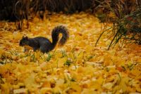 Squirrel on Beautiful Carpet of Autumn Leaves
