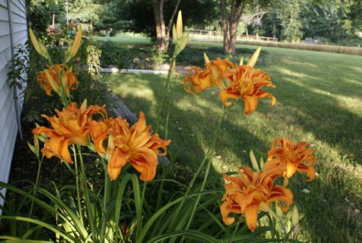 I (think) these are deformed 'Ditch Lilies'.  (triple petals!)