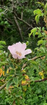 Wild rose / Dune rose, with a lovely smell