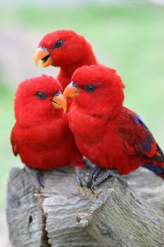 THREE'S COMPANY (RED LORIES)