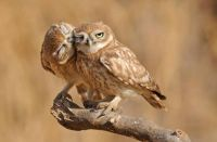 Owl be your buddy