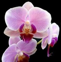 THIS IS FOR MY MOM HER FAVOURITE FLOWER THE ORCHID