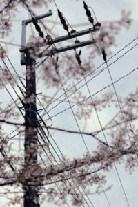 Telephone Pole and Cherry Blossoms