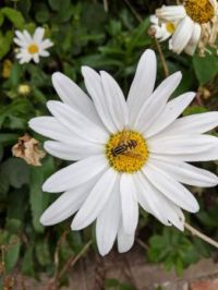 A daisy and friend