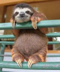 A young three toed sloth