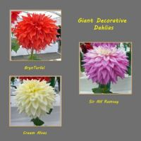 Giant Decorative Dahlias
