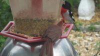 Red breasted grosbeak visits