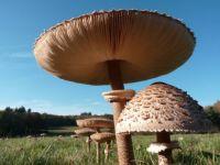 One huge mushroom