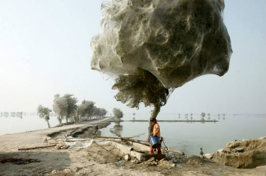 Ghostly Cocooned Trees, Sindh, Pakistan 2010.