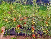 Záhon rajčat