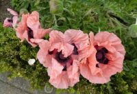 A row of pretty pink poppies