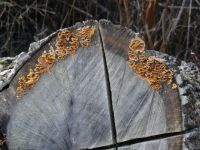 Fungus on felled Douglas Fir