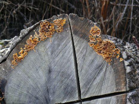Fungus on felled Douglas Fir