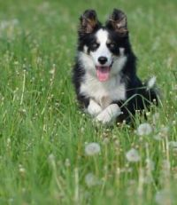 Border Collie In Dandelion Meadow 4-8-17
