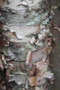 Textures - Birch Bark