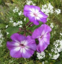 Purple&white Phlox