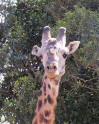 giraffe closeup - aug 2016 - kenya