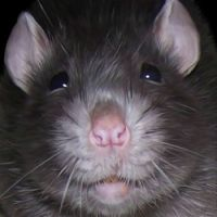 Derwent the rat