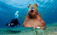 Thornback trunk fish