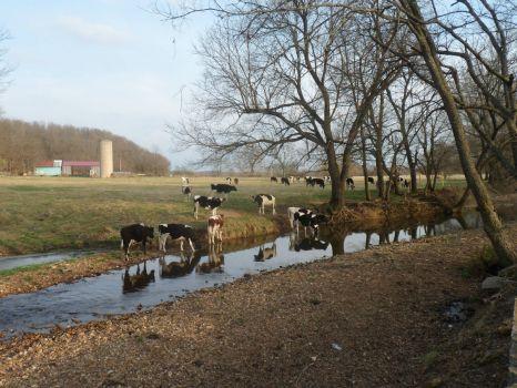 Steers at the bridge
