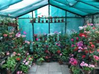 My greenhouse with pelargoniums (geranium)