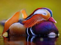 3  ~  Mandarin Duck.