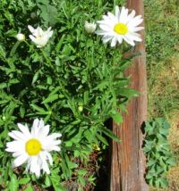 Daisies and Columbine