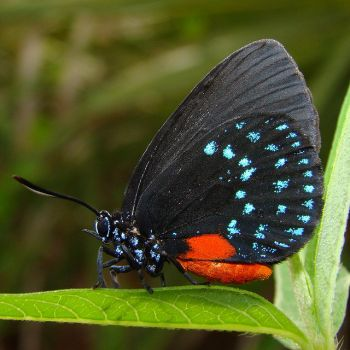 Atala Hairstreak Butterfly- Florida