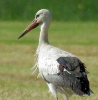 stork (ooievaar)